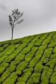 Plantaciones de té en las Cameron Highlands, Malasia