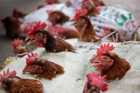 Transporte de gallinas. Todas en un saco con unos agujeritos para que saquen la cabeza y listos!