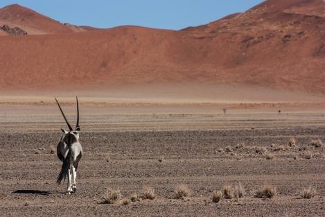 Órice en el desierto del Namib