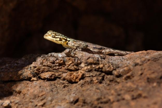 Lizard, Namibia