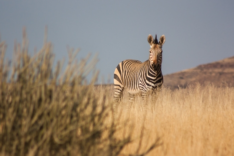 Cebra, Namibia