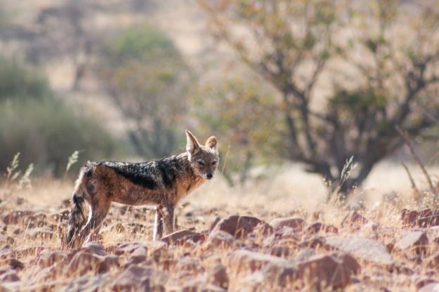 Chacal, Namibia