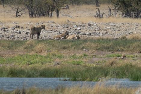 Leonas en Rietfontein