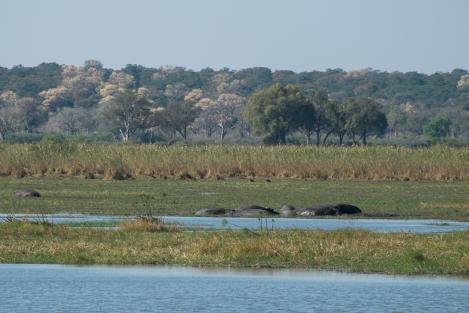 Hipopótamos Mahango Namibia
