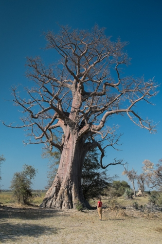 Mahango Namibia Baobab