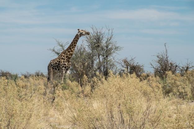 Jirafa Delta del Okavango