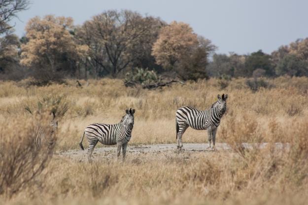 Cebra Botswana