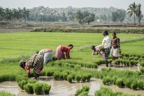 Arrozal, Hampi, India
