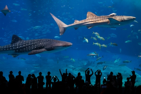 Whale shark en el Okinawa Churaumi Aquarium