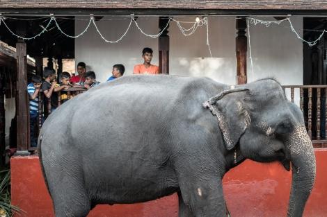 Elefante Esala Perahera