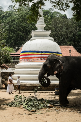 Elefante, Kandy, Sri Lanka