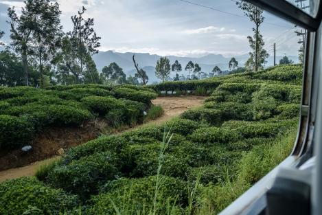 Plantaciones de té desde el tren