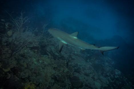 Tiburón en Providencia, Colombia