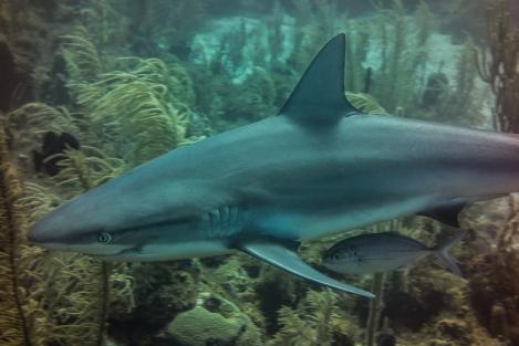 Black tip reef shark, Providencia, Colombia