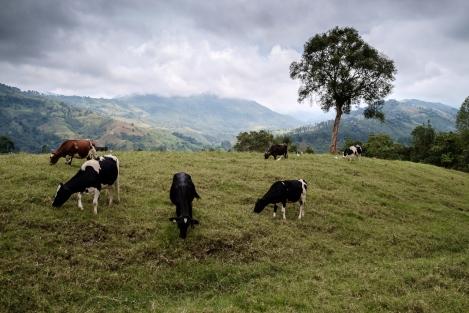 Vacas en Salento
